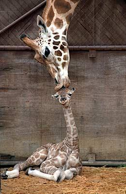 giraffe-mother-kisses-baby
