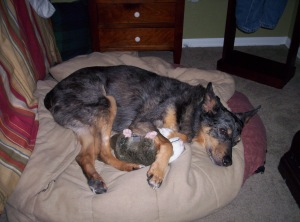 """Ranger,"" with his favorite snuggle toy, Wally the Rat."